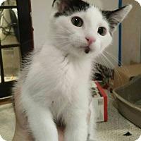 Adopt A Pet :: Igor - St. Louis, MO