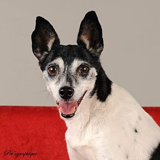 Jack Russell Terrier Mix Dog for adoption in Las Vegas, Nevada - Riccardo