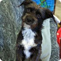 Adopt A Pet :: 'BEAU' - Agoura Hills, CA