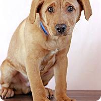 Adopt A Pet :: Otis - Waldorf, MD