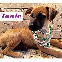 Adopt A Pet :: Winnie meet me 5/13 - Manchester, CT