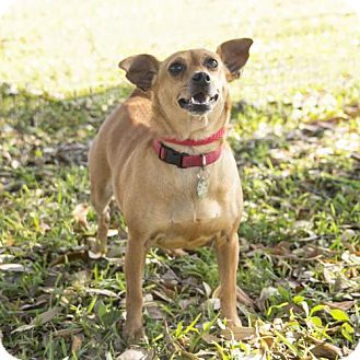 Chihuahua Mix Dog for adoption in Houston, Texas - Miss Kitty