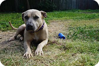 American Staffordshire Terrier Mix Dog for adoption in Gorham, Maine - Nala
