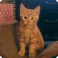 Domestic Shorthair Kitten for adoption in Richmond, Virginia - Tanner