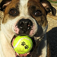Bulldog Mix Dog for adoption in West Babylon, New York - Tigger