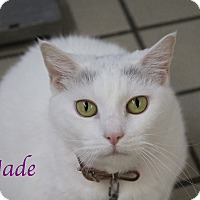 Domestic Shorthair Cat for adoption in Bradenton, Florida - Jade