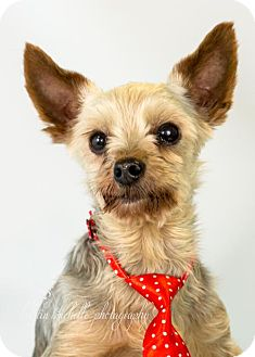 Yorkie, Yorkshire Terrier Dog for adoption in St. Louis Park, Minnesota - Jacob