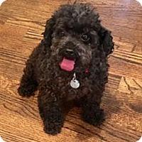 Adopt A Pet :: Chewie (Chubaka) - Atlanta, GA