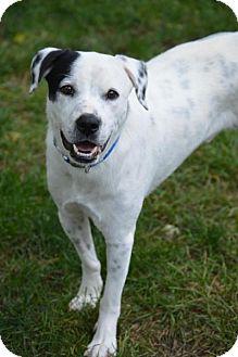 Dalmatian Mix Dog for adoption in Cokato, Minnesota - Gus