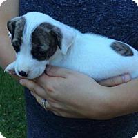 Adopt A Pet :: Luke Duke - Memphis, TN