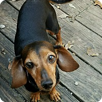 Adopt A Pet :: Josephine - Decatur, GA