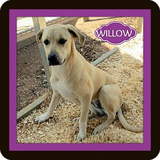 Labrador Retriever Mix Dog for adoption in Granbury, Texas - Willow