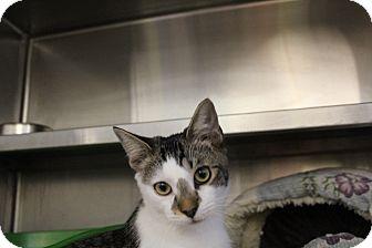 Domestic Shorthair Cat for adoption in Sarasota, Florida - Martin