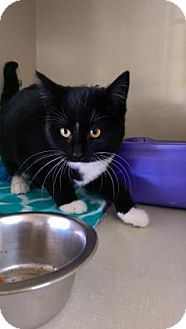 Domestic Shorthair Kitten for adoption in Fort Collins, Colorado - Pickle