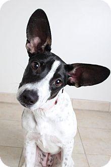 Terrier (Unknown Type, Medium) Mix Dog for adoption in Edina, Minnesota - Missie  D161862