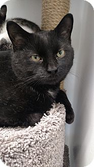 Domestic Shorthair Cat for adoption in Chaska, Minnesota - Sheldon