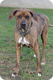 Boxer/American Pit Bull Terrier Mix Dog for adoption in Walla Walla, Washington - Dezi