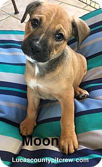 Labrador Retriever/American Pit Bull Terrier Mix Puppy for adoption in Toledo, Ohio - Moon