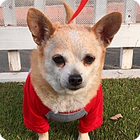 Dachshund/Chihuahua Mix Dog for adoption in Santa Ana, California - Mimi (BH)