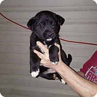 Adopt A Pet :: Isabelle - pending - Manchester, NH