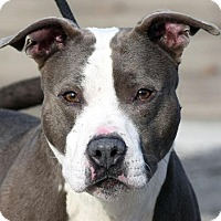 Adopt A Pet :: FOREMAN - New Haven, CT