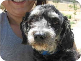 Schnauzer (Miniature)/Poodle (Toy or Tea Cup) Mix Dog for Sale in San ...