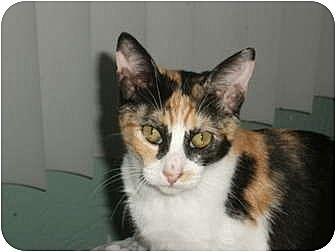 Calico Cat for adoption in Redondo Beach, California - Cally