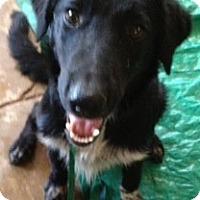 Adopt A Pet :: Boz - Phoenix, AZ