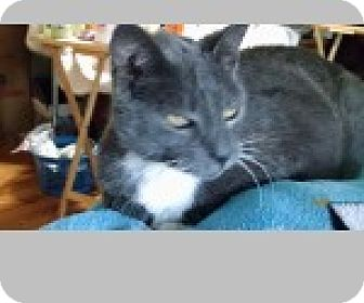 Domestic Shorthair Cat for adoption in Pittsboro, North Carolina - Tiger