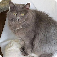 Russian Blue Cat for adoption in tama, Iowa - Shyloh
