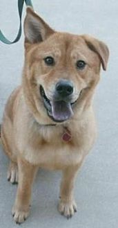 Golden Retriever/Chow Chow Mix Dog for adoption in Duluth, Georgia - Jessi