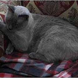 Photo 3 - Siamese Cat for adoption in Austin, Texas - Douglas