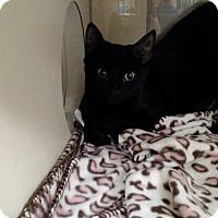 Adopt A Pet :: 1512-0188 Victoria - Virginia Beach, VA
