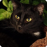 American Shorthair Cat for adoption in mishawaka, Indiana - Carmel
