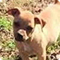 Adopt A Pet :: Bindi - McKinney, TX