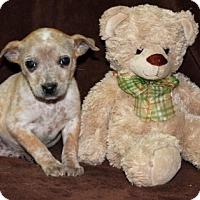 Adopt A Pet :: Holly - Salem, NH