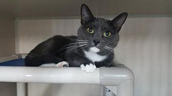 Domestic Shorthair Cat for adoption in Fort Collins, Colorado - Ellie