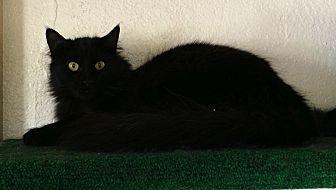 Himalayan Cat for adoption in Prescott, Arizona - Precious