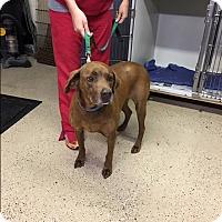 Adopt A Pet :: Ritz - Hohenwald, TN