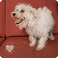 Terrier (Unknown Type, Small)/Poodle (Standard) Mix Puppy for adoption in Inglewood, California - Daisy