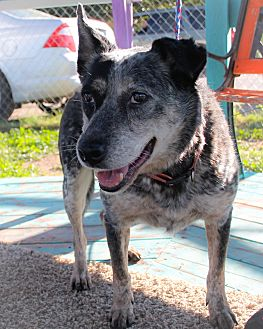 Blue Heeler Mix Dog for adoption in Odessa, Texas - Blue