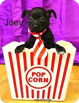 Chihuahua Mix Puppy for adoption in Shreveport, Louisiana - Joey