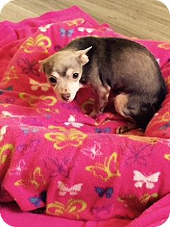 Chihuahua Dog for adoption in PT ORANGE, Florida - OTIS