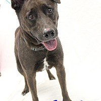 Labrador Retriever Mix Dog for adoption in Bradenton, Florida - Hershey