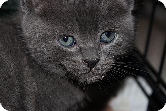 Russian Blue Kitten for adoption in Santa Monica, California - Everdean