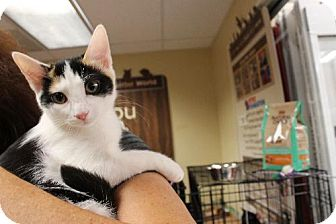 Domestic Shorthair Cat for adoption in Baltimore, Maryland - Thisbe