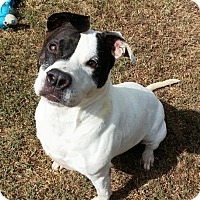 Adopt A Pet :: Nikita - Colonial Heights animal shelter, VA