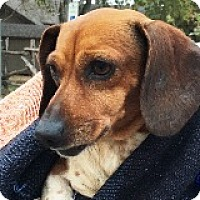 Adopt A Pet :: Emily Cratchit - Houston, TX