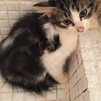Maine Coon Kitten for adoption in Sunny Isles Beach, Florida - Sinbad