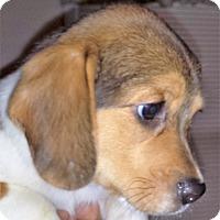Adopt A Pet :: Peetie - Germantown, MD